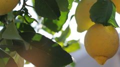 Lemons Growing On Tree Under The Sunny Rays - stock footage