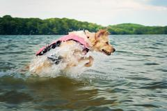 Dog wearing a life jacket jumping in the sea Stock Photos