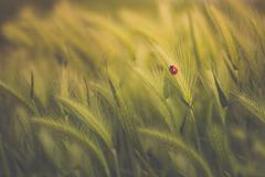 Close-up of a Ladybug On ear of wheat in a green wheat field - stock photo