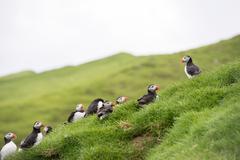 Atlantic puffins, Fratercula arctica Stock Photos