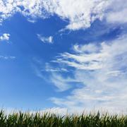 Minimalist corn field and wispy cloudy blue sky Stock Photos