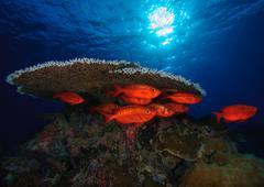 Shoal of fish hiding next to coral reef, Palau Stock Photos
