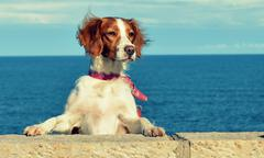 Dog standing on hind legs with paws on a wall - stock photo