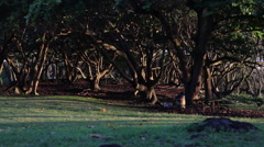 Moody light cuts through a group of trees in Maui Stock Footage