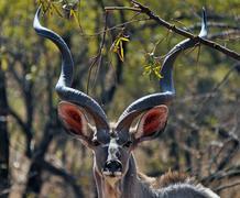 Close up portrait of a greater kudu (Tragelaphus strepsiceros), South Africa Stock Photos