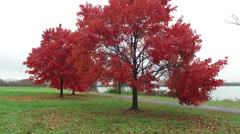 Late season fall leaves in Washington DC along the Potomac Stock Footage