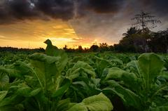 Tobacco plants in a field, West Nusa Tenggara, Indonesia Kuvituskuvat
