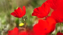 Gorgeous red flower closeup Stock Footage