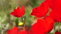 Anemone field closeup Stock Footage