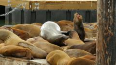Sea Lion Climbing on Pile, Pier 39 San Francisco California Stock Footage