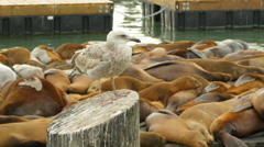 Sea gull stands in front of resting sea lions, Pier 39 San Francisco California Stock Footage