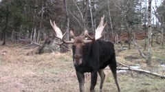 A big male moose Stock Footage