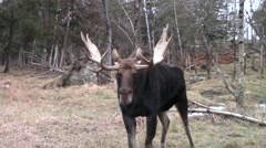 Male moose Stock Footage