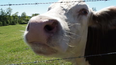 Close up of Cow In Pasture Stock Footage