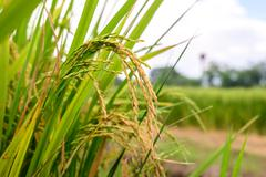 Close up of golden rice paddy in rice field. Stock Photos