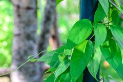 Thumbergia Laurifolia Leaves. - stock photo