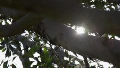 Eucalyptus gum tree, brush box, lophostemon, handheld looking up Stock Footage