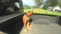 Boxer dog riding in back of pick up truck Stock Footage