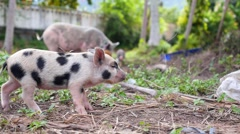Cute Baby Pig Walking Outdoors Stock Footage