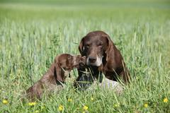 Beautiful German Shorthaired Pointer with puppies - stock photo