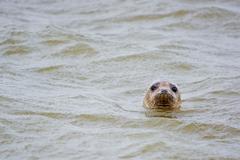 Seal in the sea, Aberdeen, Scotland, UK - stock photo