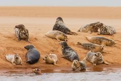Pod of seals lying on a sandbank, Aberdeen, Scotland, UK - stock photo