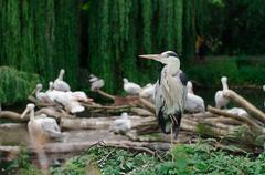 Herons and Pelicans in a zoo - stock photo