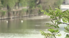 A second view of some white ducks in river Entella Stock Footage