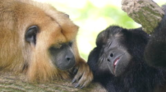 Howler Monkeys Stock Footage