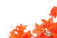 Orange red azalea in frame with copy space Stock Photos