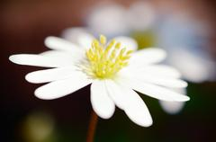 wood anemone flower stamen closeup - stock photo