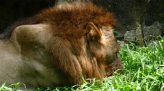 Lion Feeding Pride Stock Footage