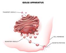 Golgi apparatus - stock illustration