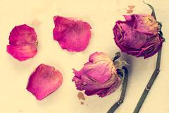 Stock Photo of Withered roses with fallen petals