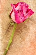 Single old rose on grunge background - stock photo