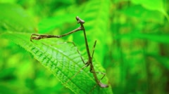 Closeup of a Praying Mantis on a Leaf, with Sound Stock Footage