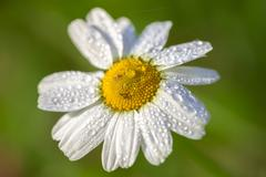 Marguerite - water drops - stock photo