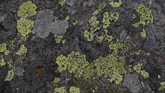 Close-Up of  Lichens on stone in  Gran Paradiso National Park, Italy Stock Footage
