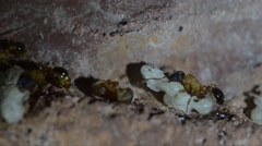Stock Video Footage of Ant,  underground, artificial anthill,  anthill, worker, pupa, chrysalis, nymph,