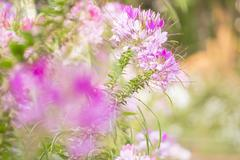 spiny spider flower landscape - stock photo