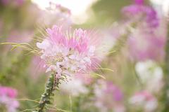 Spiny spider flower landscape Stock Photos