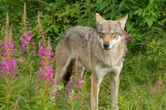 An alert wolf - stock photo