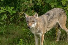 An alert wolf Stock Photos