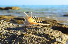 Sea shell with thorns on sea background Stock Photos