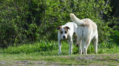 Two Dogs Midst of Nature 4k UltraHD Video Stock Footage
