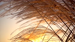 golden poles and grass,flax - stock footage