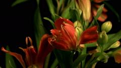 Flowers wilt Stock Footage