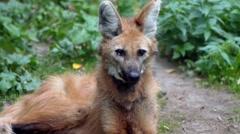 The maned wolf (Chrysocyon brachyurus) Stock Footage