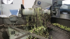 the cultivation and processing of olives - stock footage
