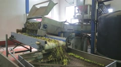 Processing of olives - stock footage